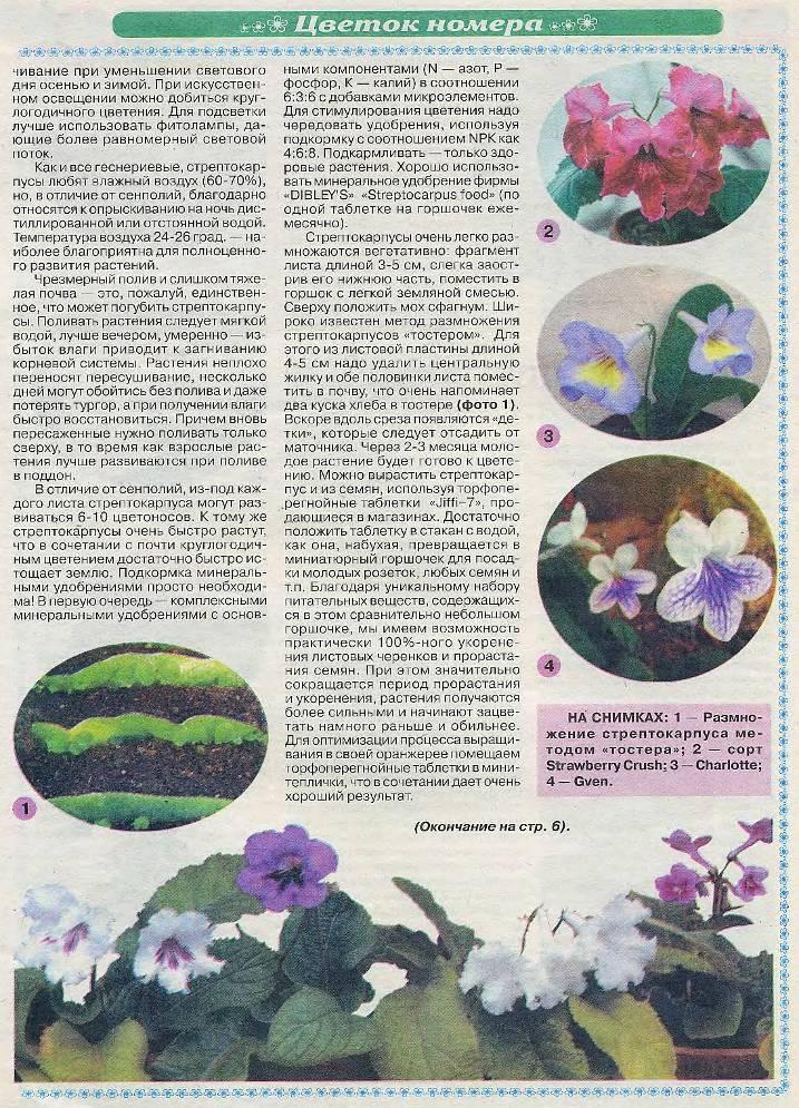 стрептокарпус уход и размножения 11